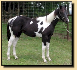Double Homozygous Black Tobiano Stallion
